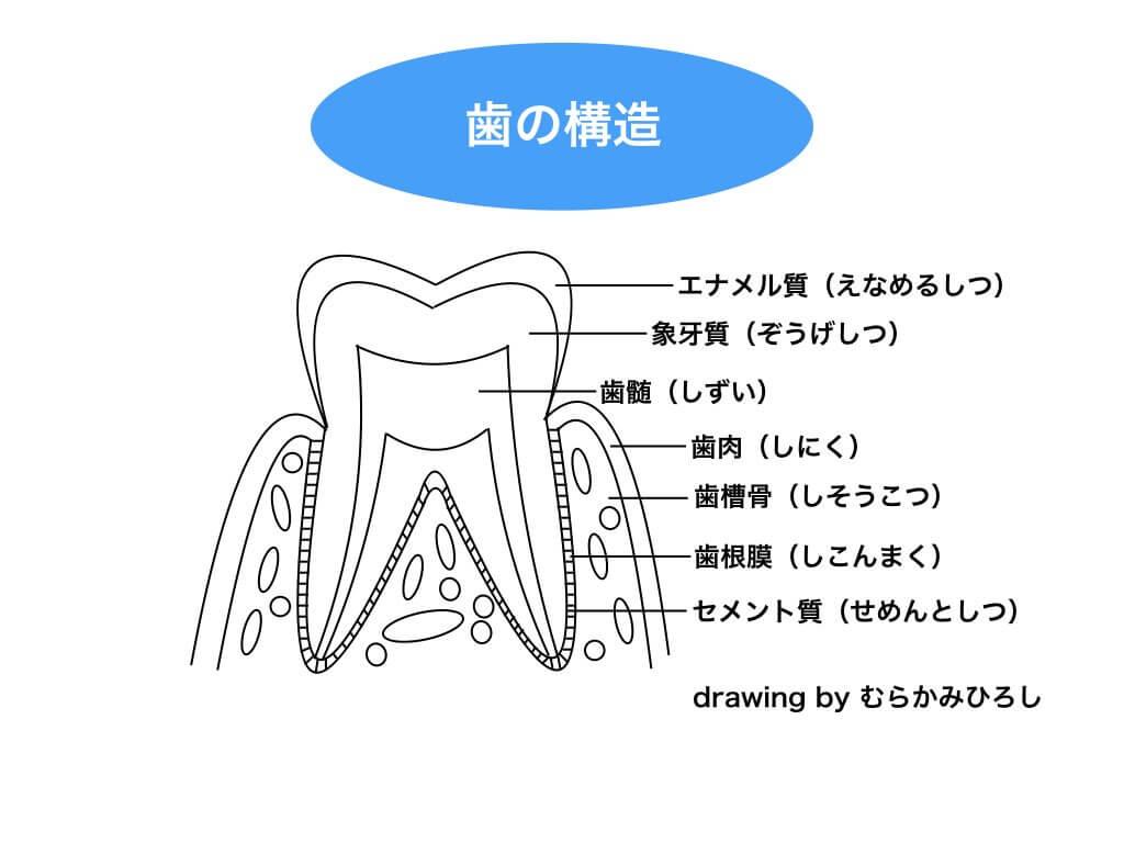 歯の構造イラスト