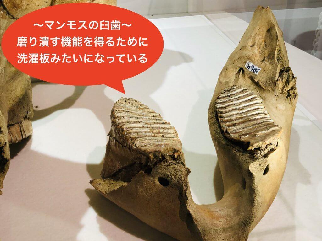 マンモスの歯の化石